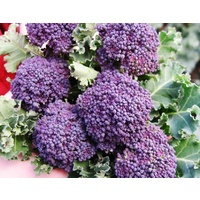 Broccoli Purple Spouting Early