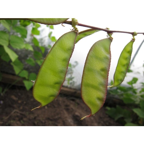 Bean Other Eden Seeds